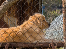 Large furry dog kept in cage Royalty Free Stock Photos