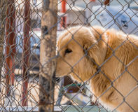 Large furry dog kept in cage Stock Photos