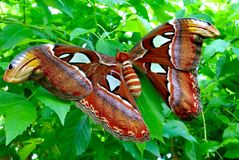 Large Furry Moth Stock Photo