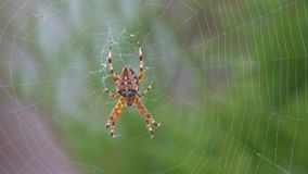 A large furry spider, with a beautiful pattern stock video footage