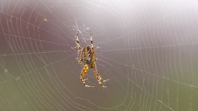 A large furry spider, with a beautiful pattern stock footage