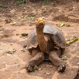Large Galapagos giant tortoise. Or turtle unique to Galapagos islands stock photography