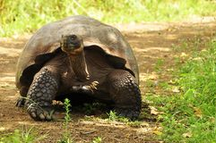 A large galapagos tortoise in the galapaogs islands stock photo