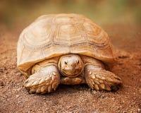 Large Galapagos Tortoise Looking Forward Stock Photo