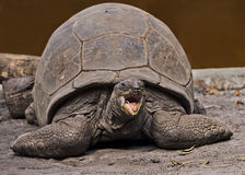 Large Galapagos Tortoise. A large Galapagos tortoise strikes a fierce pose at the Zoo Miami on January 24, 2017. Some of its species can live nearly a century stock photo