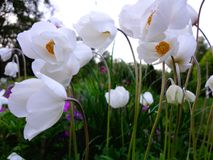 Large garden anemones photographed in the evening. stock photo