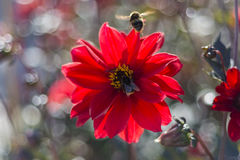 Large garden bumblebee (Bombus ruderatus) on a red flower. Walled Garden, Fulham Palace, Fulham, London, England, United Kingdom stock image