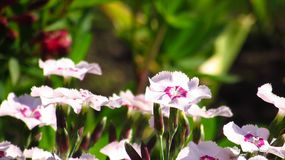 Large garden cloves, beautiful garden flowers stock image