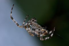 Large Garden Orb Spider Macro Royalty Free Stock Images