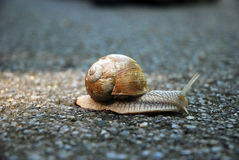 Large garden snail Stock Photos