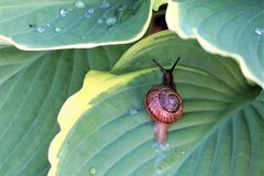 Large garden snail crawling on a green leaf in the early morning. royalty free stock photos