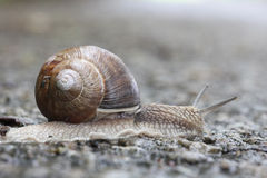 Large garden snail Royalty Free Stock Images