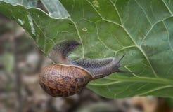 Large garden snail, Helix aspersa, eating my cabbage plant. Terrestrial gastropod mollusk. Aka European Brown Garden. Large garden snail, Helix aspersa, eating stock photos