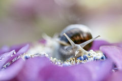 Large Garden Snail in Summer Stock Image