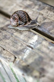Large Garden Snail in Summer Royalty Free Stock Photos