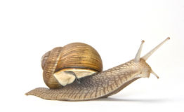 Large garden snail Stock Photo