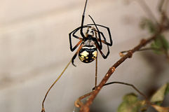 Large Garden Spider in Web Stock Images