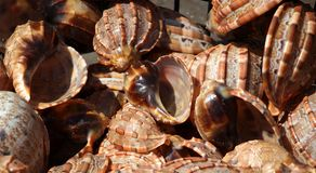 Large Gastropod Sea Shells Stock Images