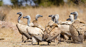 Large gathering of Cape Vultures Stock Photography