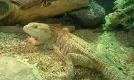 Large Gecko Lizard Stock Image