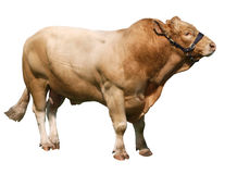 Large Gelbvieh bull Stock Photo