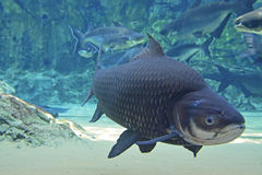 A Large Giant Siamese Carp fish passing by the camera lense. A Large Giant Siamese Carp fish swimming past the camera lense with other fishes behind including Stock Photo