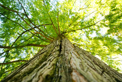 Large giant tree canopy and limbs looking up in forest. On sunny day Stock Photo