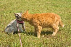Large ginger tabby cat sniffing on a small Siamese cat stock photos