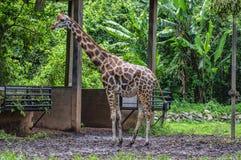 A large giraffe bull Royalty Free Stock Photos