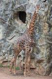 Large giraffe. In dusit zoo , Bangkok Thailand Royalty Free Stock Photos