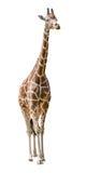 Large giraffe isolated on white. Background stock image