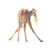 Large giraffe  leaned over to pick up a branch Royalty Free Stock Image