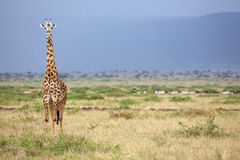 Large giraffe looking at the camera Royalty Free Stock Images