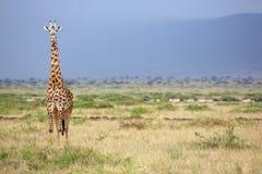 Large giraffe looking at the camera Royalty Free Stock Images