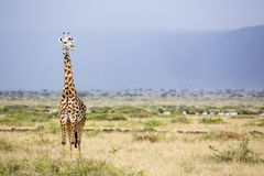 Large giraffe. A large giraffe standing tall in the Masai Mara with blue mountains behind Royalty Free Stock Photography