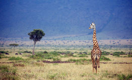 Large giraffe Stock Photos