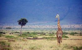 Large giraffe Stock Photos