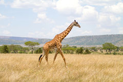 Large giraffe walks at the plains of Africa Stock Images
