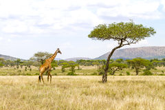 Large giraffe walks at the plains of Africa Royalty Free Stock Photos