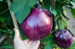 Large globular eggplant varieties of `Bourgeois` in the garden. On the palm Stock Images