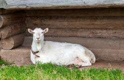 Large goat lying on the grass near a wooden house Royalty Free Stock Image