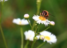 Sitting on a flower. A large, goggle-eyed fly sits on a white, chamomile-like flower and rubs its paws Stock Photo