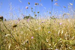 Large gold grass and flowers Royalty Free Stock Image