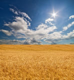 Large gold wheat field under sun Royalty Free Stock Image