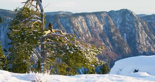 Golden eagle sits in tree at the top of the high mountains at winter. Large golden eagle sits on a tree in the high mountains in the winter stock footage