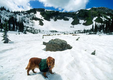 Large Golden Retriever Backpacking in the High Mountains in the Royalty Free Stock Images