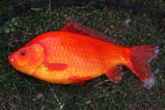 Large Goldfish. Royalty Free Stock Photography