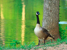 Large Goose and Tree stock photo