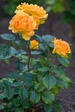 Large gorgeous buds of yellow roses with raindrops on green leaves. Vertical frame. royalty free stock images