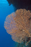 Large gorgonian fan coral. A large gorgonian fan coral on a reef wall Royalty Free Stock Photography